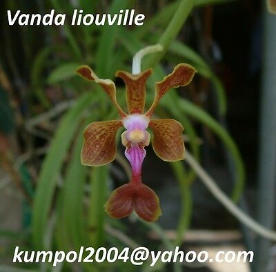 Orchid specie seeds: Vanda liouville - Year 2016