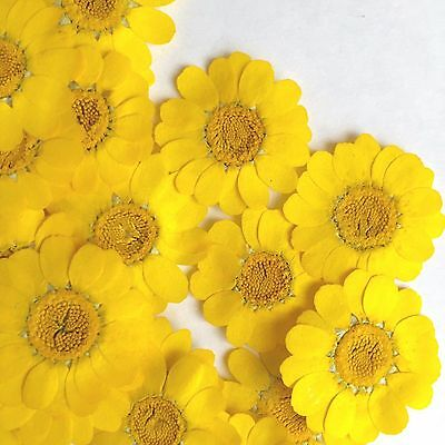 20pcs Pressed dried flowers  Coleostephus myconis