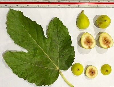 Delicious Fig Trees * Ficus Carica Var. BERMESCA 3 fresh cuttings
