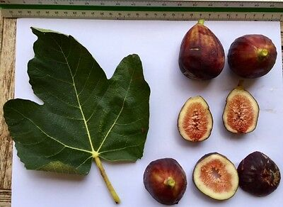 Delicious Fig Trees * Ficus Carica Var. ROJA GROSSA 3 fresh cuttings