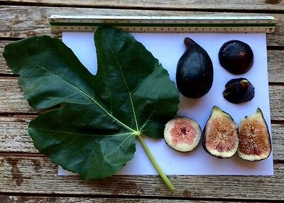 Delicious Fig Trees * Ficus Carica Var. DE BACÓ  3 fresh cuttings