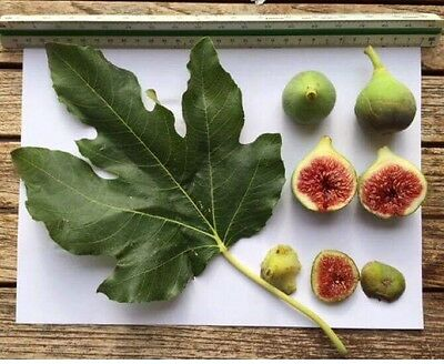 Delicious Fig Trees * Ficus Carica Var. HIVERNENCA 3 fresh cuttings
