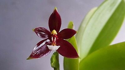 Orchid Species : Phalaenopsis cornu-cervi Red  Orchid Plant