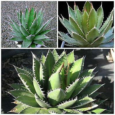 succulents succulents seed R 10 seeds of agave Stricta var rubra cacti