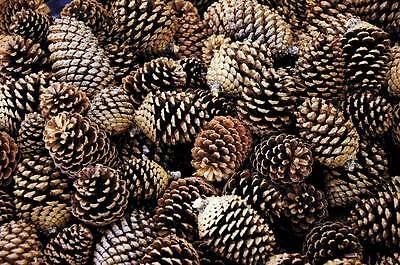 25 Small Natural Pinecones, weddings, centre pieces general Decorations