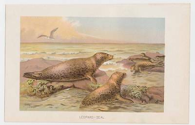 x2 antique Natural History Color Prints Leopard Seal and Hooker's Sea Lion 1901