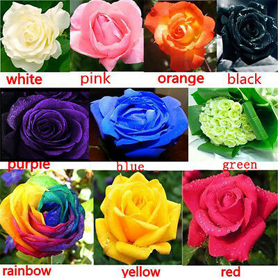 100PC Multi-color Flower Plant Seed Holland Rose Seed Lover Gift Garden Decor