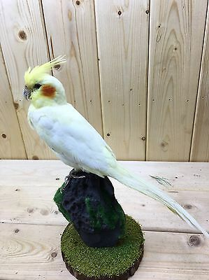 Taxidermy-hunting-chasse-präparat-real-bird-taxidermy-parrot 11