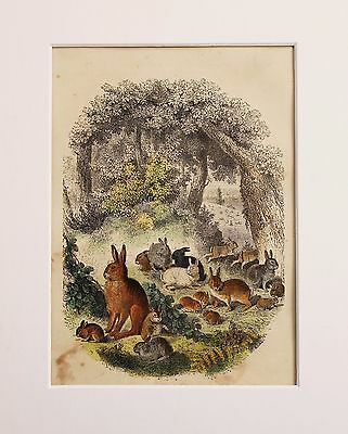 Rabbits and Hares - Original Victorian Antique Hand Coloured Print, Mounted