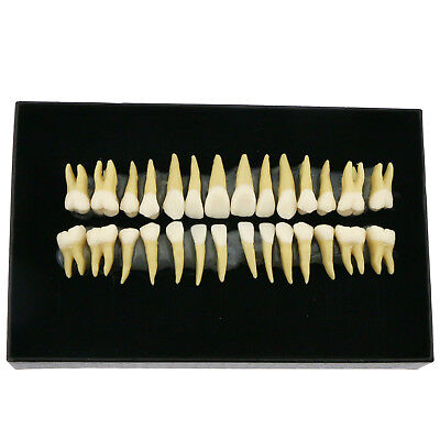 28 Pcs Dental Teeth Model Adult 1:1 Permanent Demonstration Teach Study 7008