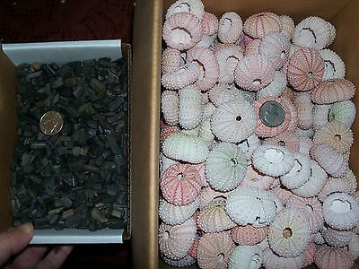 2 sea urchins and 100 grey fossil stingray shark teeth per lot