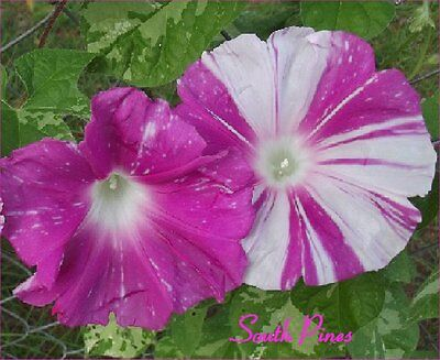 BLUE FLAME JAPANESE Morning Glory Seeds - ipomoea nil - NEW