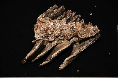 Impressive Collection BABY Tooth of a Woolly Mammoth FOSSIL Pleistocene