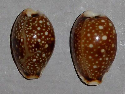 Coquillage de collection : Cypraea labrolineata (Sombres X2)