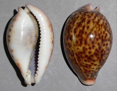 Coquillage de collection : Cypraea pantherina (70 mm)