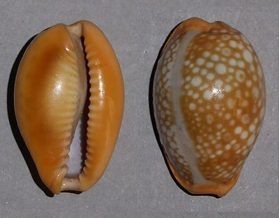 Coquillage de collection : Cypraea citrina dauphinensis