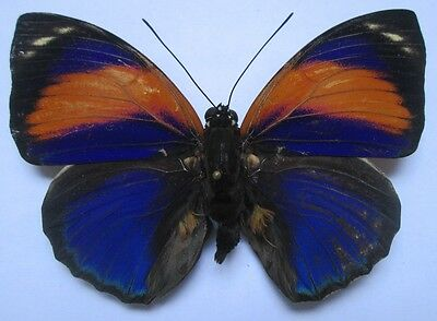 NYMPHALIDAE Agrias  phalcidon  excelsior   male  04  From - Brazil