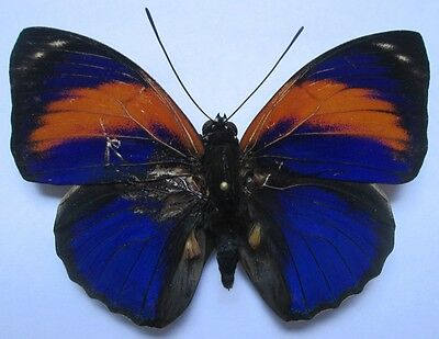 NYMPHALIDAE Agrias  excelsior excelsior   male  03  From - Brazil