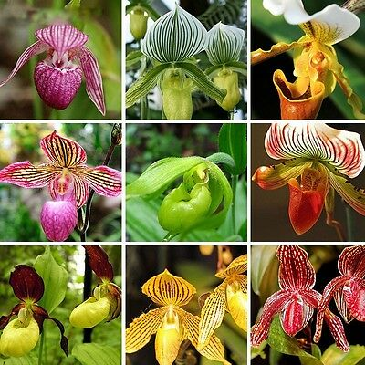 18 MIX Color Varieties PAPHIOPEDILUM Slipper Orchid Flower Seed a Pack 50 Pcs
