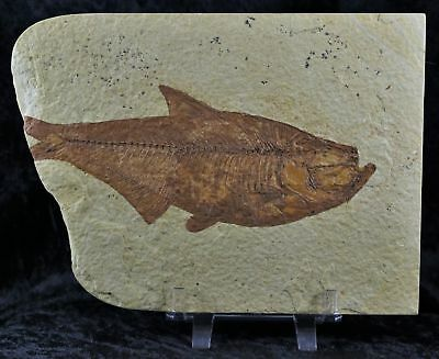 Xxl Diplomystus Dentatus Fossil Fish Green River Wy 5.8 Inches Long Free Stand