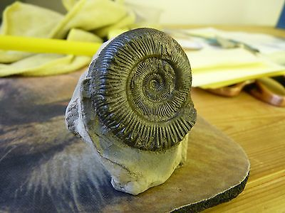 RARE  .whitby uk ammonite. 35mm. free standing.cut base. name if you can ??????