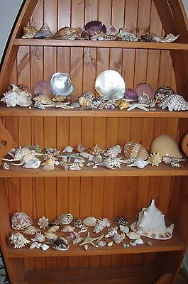 Shells - 150+ - collection - collectibles - Pick up 3810