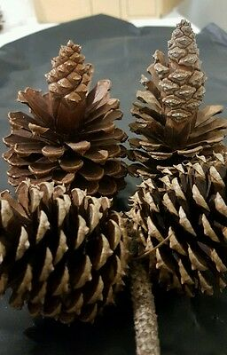 Pine Cones 8 Odd Bunch Natural Pinecones Ideal for Christmas Decorations