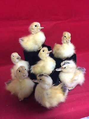 TAXIDERMY LONG ISLAND Dmstc (NAT. Death)BABY DUCK-Duckling-adorable-farm-country