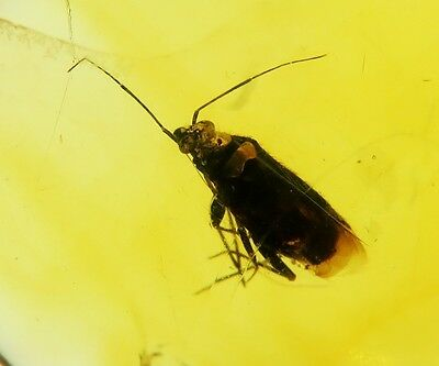 Fossil insect Very nice TRUE BUG inclusion in Natural Genuine BALTIC AMBER stone