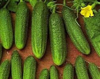 Seeds Cucumber Libella F1 Organically Grown Russian Pickling Vegetable NON GMO