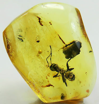 Fossil insect Great Big ANT inclusion in Natural Genuine Big BALTIC AMBER stone