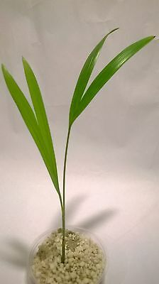 Golden Cane Palm (Dypsis lutescens). One (1) seedling
