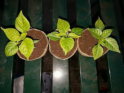 3x Huge, Carolina Reaper Chocolate chilli plants. Pre-Order for March!