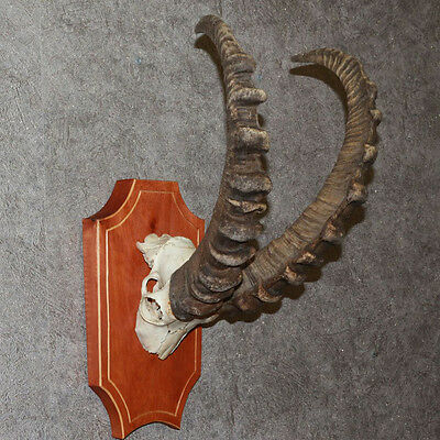 Siberian Ibex - Taxidermy Mount Horns, Antlers For Sale - Wild Mountain Goat