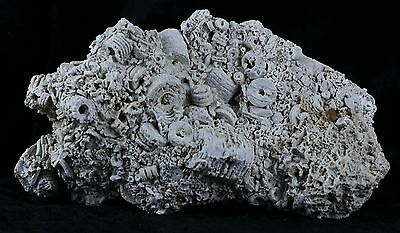 Large Quality Crinoids Stem Echinoderm Large Fossil Plate On Matrix Sea Lilly