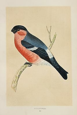 Bullfinch - 1855 Rev. Morris Large Antique Colour Bird Print Lithograph