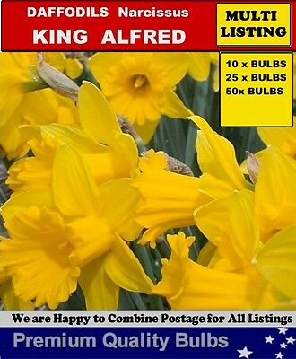 DAFFODILS  BULBS:-King Alfred  Trumpet Daff - 10x  BULBS