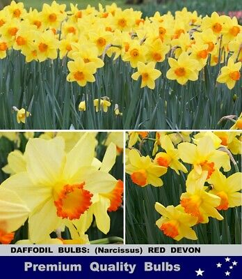 DAFFODILS  BULBS: Sir Winston Churchill DB - Perfumed - 10x BULBS