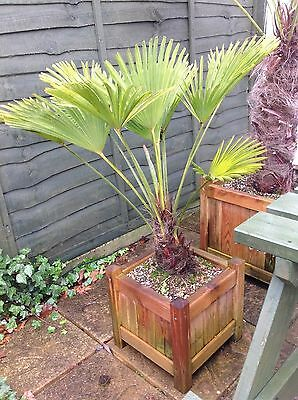 Tall Large Mature Trachycarpus fortunei 1meter 100cm Hardy Palm Tree in planter