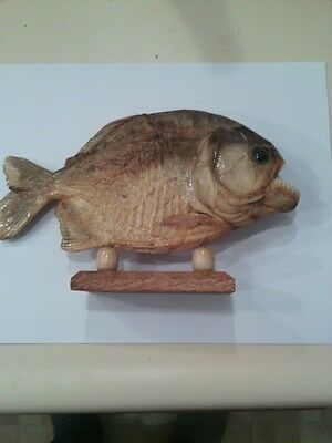 9 inch Monster PIRANHA FISH Taxidermy Standing Mount - Great for a Man-Cave