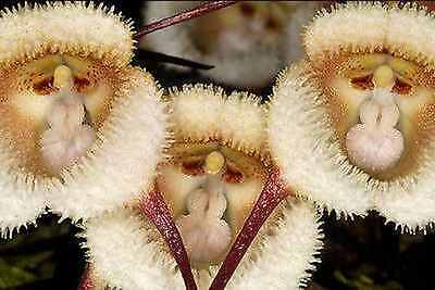 Species Orchid Dracula saulii Bloom Size Monkey Face Flowers