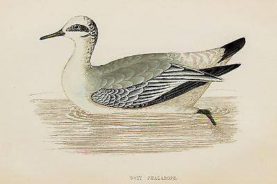 Grey Phalarope - 1890s Rev. Morris Antique Colour Bird Print