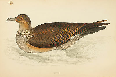 Great Skua - 1890s Rev. Morris Antique Colour Bird Print