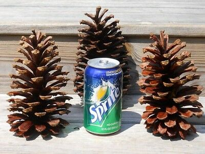 15 Large Pine Cones from South Carolina!  15 Pinecones!