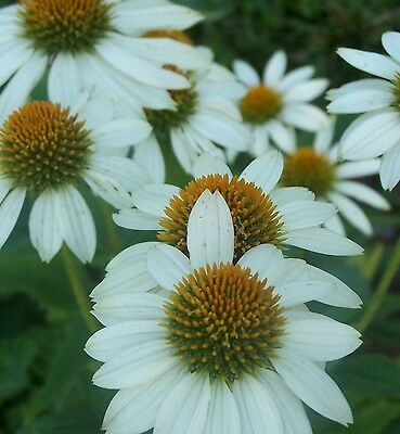 Echinacea 'Pow Wow White' Seeds - Perennial - Combined Shipping