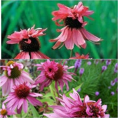 Echinacea 'Double Decker' Seeds - Perennial- Combined Shipping