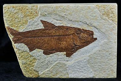 Knightia Eocaena Fossil Fish Green River Formation Wyoming Eocene Age 3.5 Inches