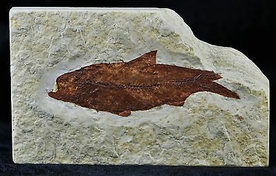Knightia Eocaena Fossil Fish Green River Formation Wyoming Eocene Age 2.5 Inches