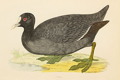 Coot - 1890s Rev. Morris Antique Colour Bird Print