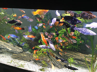 10 X Assorted Adult Molly Fish 6CM +